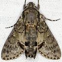 Cautethia grotei
