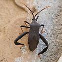 Unknown Bug - Acanthocephala
