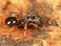small ant - Myrmecina americana
