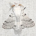Dot-lined White Moth -  Hodges #7683 - Artace cribrarius - male