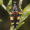 Another Acmaeodera tuti on Psorothamnus? - Acmaeodera tuta