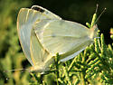 Cabbage White - Pieris rapae - male - female