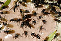 Camponotus ants in a swarm at the front door, another year, ,alates - Camponotus vicinus - male - female