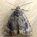 Cooper Underwing (Amphipyra pyramidoides) - Amphipyra pyramidoides