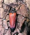 Attracted to Bait - Stenelytrana emarginata - female
