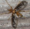 Pyrgotid Fly #2 - Pyrgota undata - female