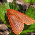 red-orange moth - Spilosoma vagans - female