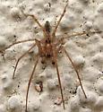 A. californica - Anyphaena californica - male