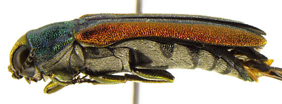 Agrilus pulchellus - male