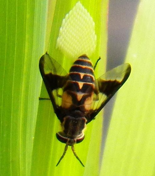 Fly oviposting - Chrysops - female