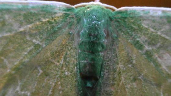 S. Emerald Moth on window (dorsal thorax & head) - Synchlora frondaria - female