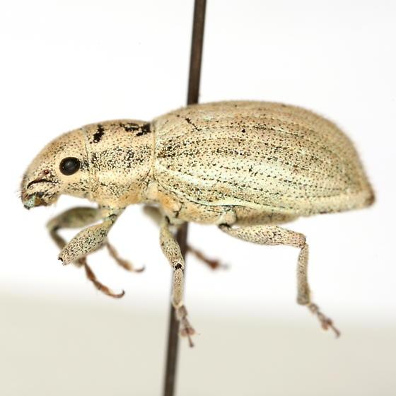 Naupactus tesselatus (Say) - Naupactus tesselatus