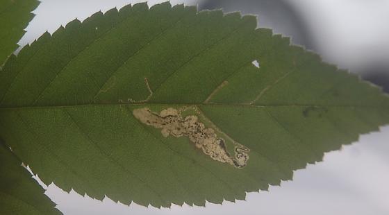Lake Crabtree leaf miner on Rubus species D1070 2018 3 - Ectoedemia rubifoliella