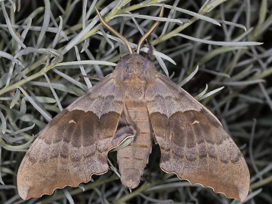 Pachysphinx occidentalis