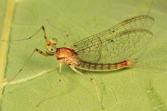 Mayfly - Stenacron interpunctatum - male