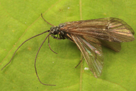 caddisfly - Apatania incerta