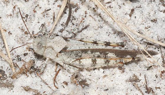 Family Acrididae: Psinidia fenestralis? - Spharagemon marmoratum - female