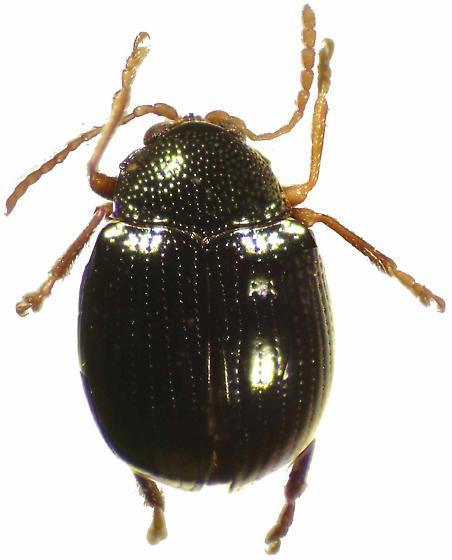 Acallepitrix nitens (Horn) - Acallepitrix nitens