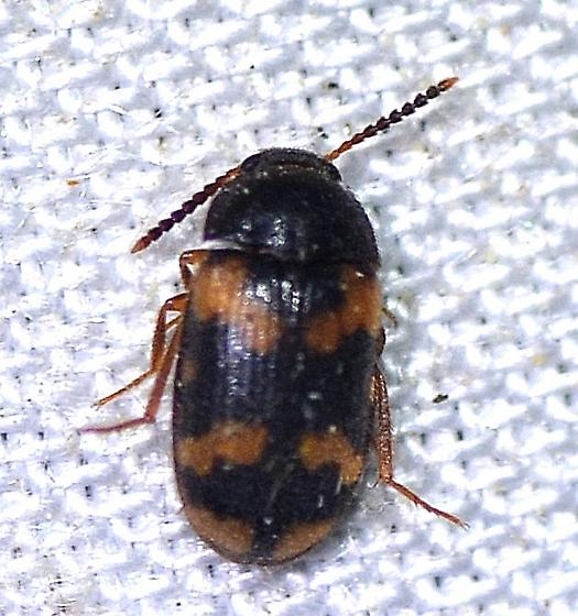 Mycetophagidae - Mycetophagus serrulatus