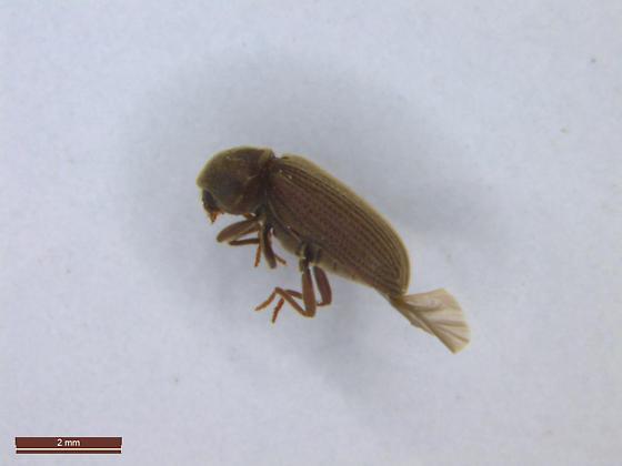 Wood boring beetle - Anobium punctatum