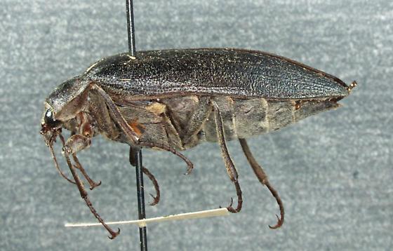 Eulichadidae, Stenocolus scutellaris LeConte, 1853 - Stenocolus scutellaris - female