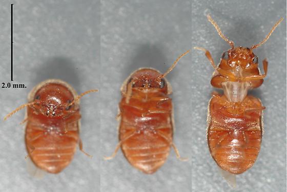 Beetle - Lasioderma serricorne