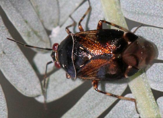 Deraeocoris sp? - Deraeocoris