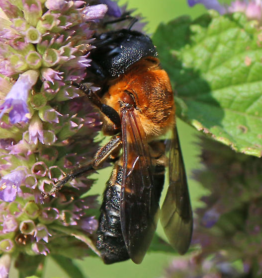 Megachile sculpturalis - Sculptured Resin Bee?  - Megachile sculpturalis