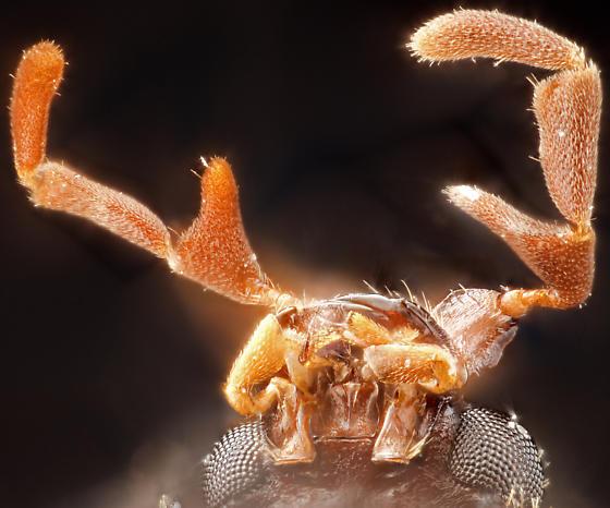 Beetle, ventral head - Caenocara
