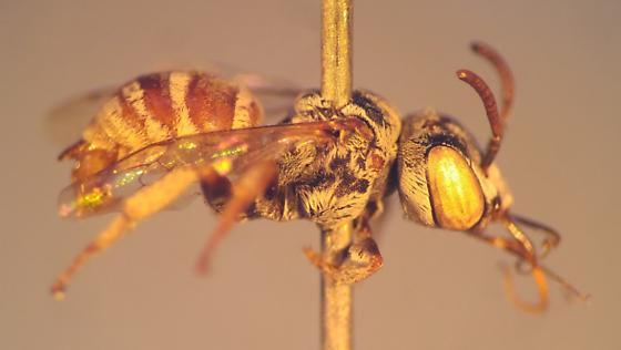 poor shape - Townsendiella pulchra - male