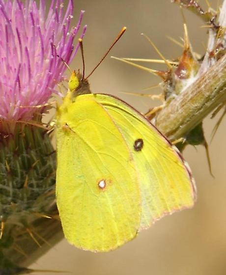 butterfly - Zerene cesonia