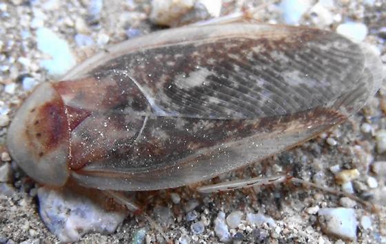 Desert Roach with 4 spots - Arenivaga - male