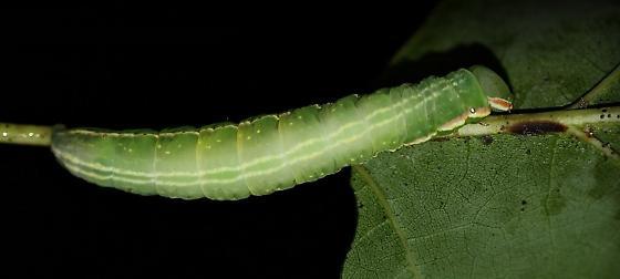 Angulose Prominent? - Peridea angulosa
