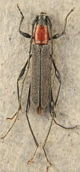 Rhopalophora longipes - male