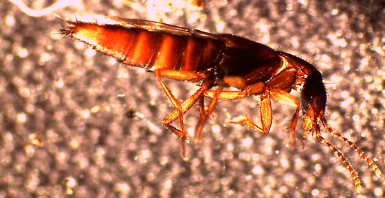 Staphylinid from oak leaf litter, extracted by Berlese funnel - Erichsonius