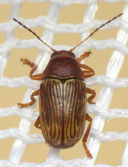 Chrysomelid beetle? - Cryptocephalus