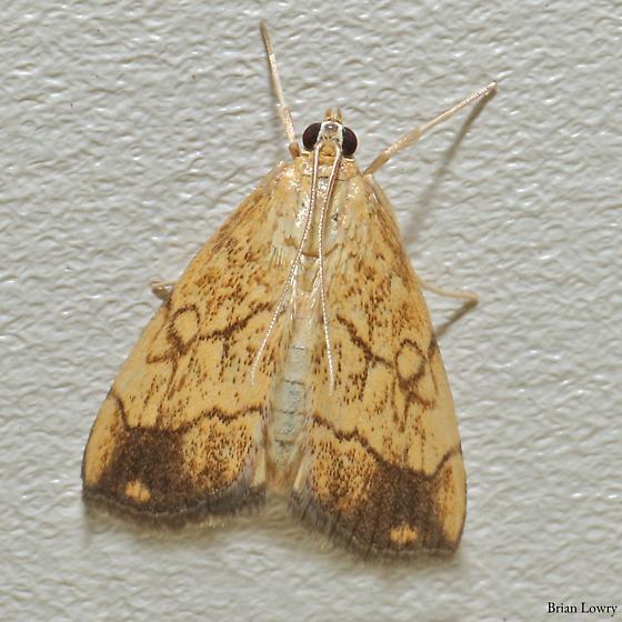 Cream and brown moth, similar to Rivula spp - Evergestis pallidata