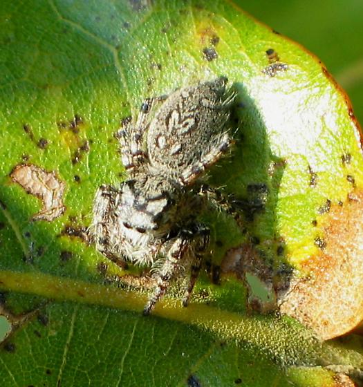 Jumping Spider - Phidippus mystaceus - female