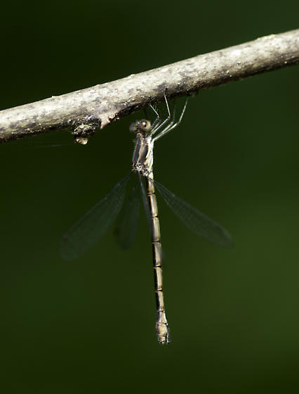 Is this congener? - Lestes - female