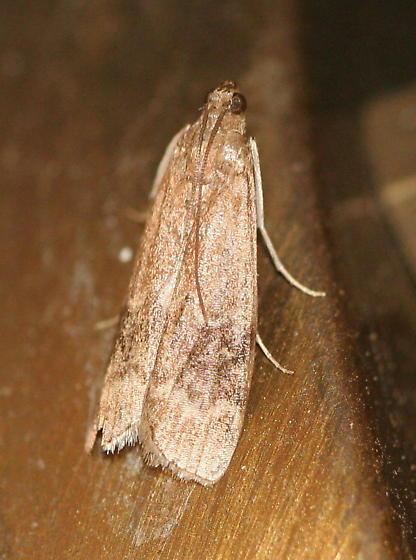 Unknown Moth - Euzophera