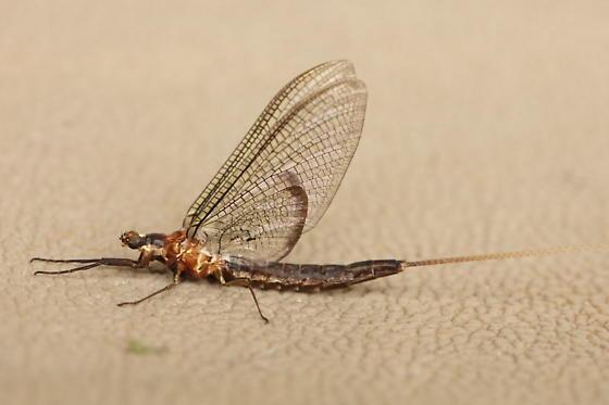 Have a seat - Hexagenia bilineata - female
