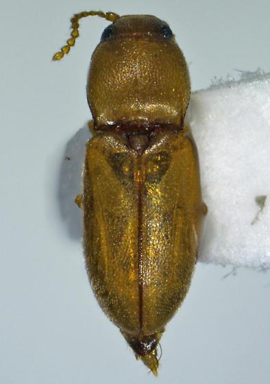 tiny sAZ clicker - Paradonus futilis