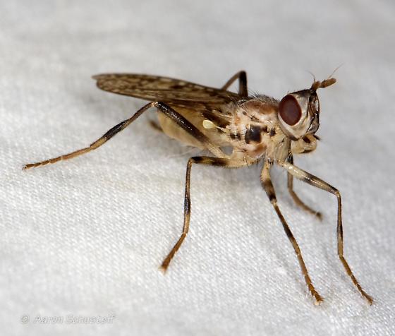 Boreothrinax - Boreothrinax maculipennis