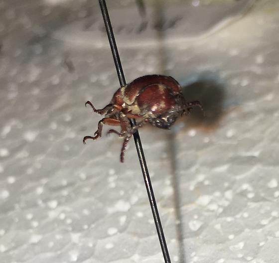 Some sort of polyphagus beetle? - Neandra brunnea