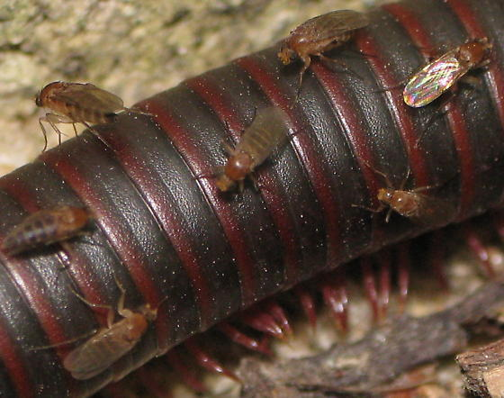 Millipede with about 20 flies
