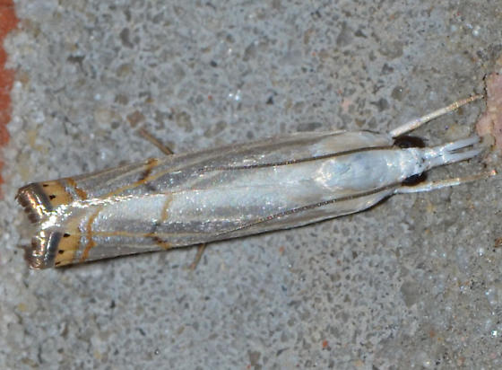 ? - Parapediasia decorellus