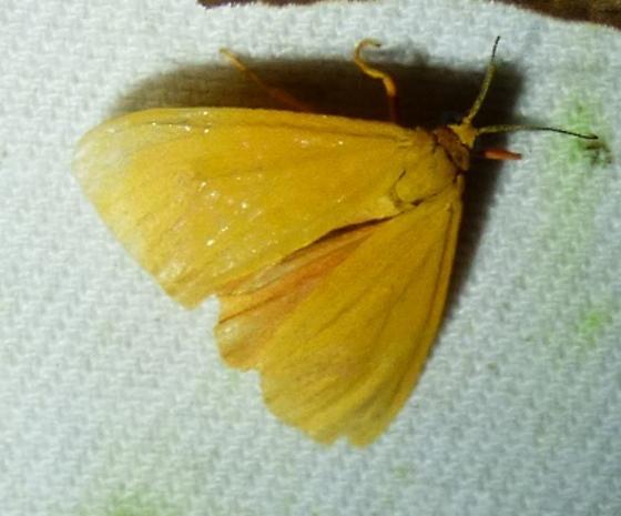 Virbia aurantiaca - Orange Holomelina - Virbia aurantiaca
