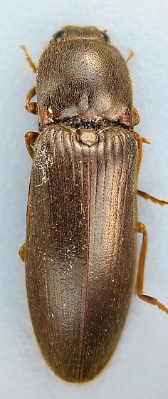 robust click - Hemicrepidius memnonius