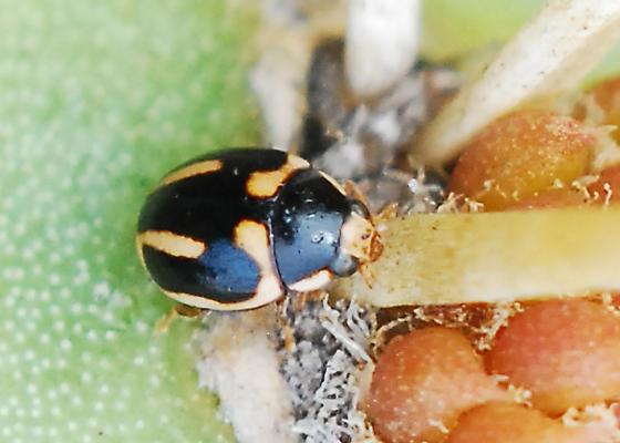 Trifurcate Lady Beetle on Cactus - Hyperaspis trifurcata