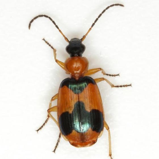 Lebia pulchella Dejean - Lebia pulchella